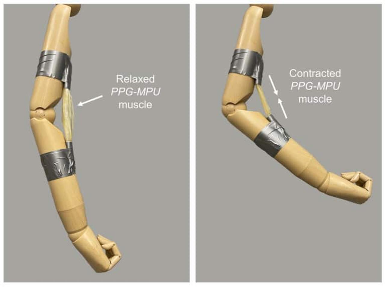 Искусственная мышца, активируемая теплом, может поднимать предметы в 5000 раз больше собственного веса
