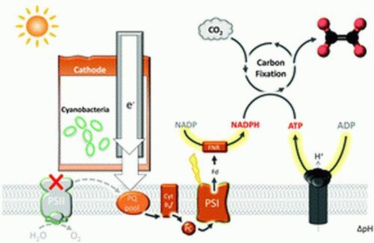 Созданные цианобактерии используют электричество для превращения углекислого газа в топливо